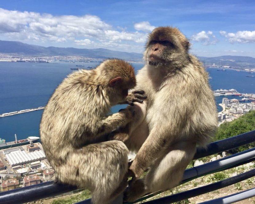 Małpy Gibraltar